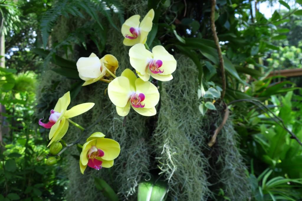 野生の胡蝶蘭
